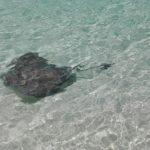 サーフィンでアカエイが危険な理由は?毒針に刺されたときの対処法や予防法も